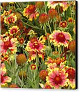 nature - flowers -Blanket Flowers Six -photography Canvas Print