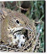 Nest In A Tree Canvas Print