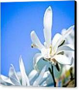 New White Magnolia Blossom Canvas Print