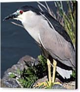 Night Heron Bird Canvas Print by Diane Rada
