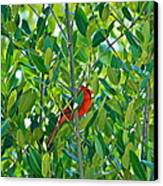 Northern Cardinal Hiding Among Green Leaves Canvas Print by Cyril Maza