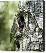 Northern Flicker Nest Canvas Print by Christina Rollo