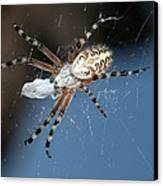 Oak Spider With Prey Canvas Print