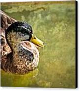 October Duck Canvas Print by Marty Koch