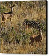 Oh Deer Canvas Print by Charles Warren