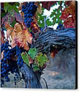 Old Vine Canvas Print by Kathy Yates