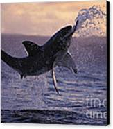 One Great White Shark Jumping Out Of Ocean In An Attack At Dusk Canvas Print by Brandon Cole