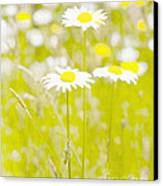 Oopsy Daisy Canvas Print by Artist and Photographer Laura Wrede