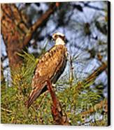 Opulent Osprey Canvas Print by Al Powell Photography USA