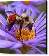 Orange-banded Bee Canvas Print