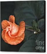 Orange Hibuscus Lax 1 Canvas Print by Deborah Smolinske