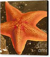 Orange Starfish In California Ocean Canvas Print by Artist and Photographer Laura Wrede