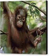 Orangutan Infant Hanging Borneo Canvas Print by Konrad Wothe