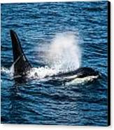 Orca Whale On The Move Canvas Print by Puget  Exposure
