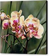 Orchid Dream Canvas Print by Paula Rountree Bischoff
