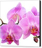 Orchid Flowers II - Pink Canvas Print