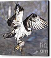 Osprey With Walleye Fish Canvas Print