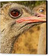 Ostrich Closeup Canvas Print by Jess Kraft
