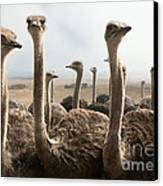 Ostrich Heads Canvas Print by Johan Swanepoel