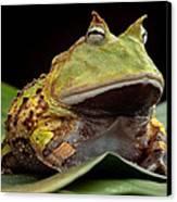 Pacman Frog  Canvas Print by Dirk Ercken