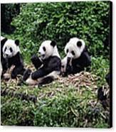 Pandas In China Canvas Print