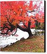 Panorama Of Red Maple Tree, Muskoka Canvas Print by Henry Lin
