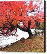 Panorama Of Red Maple Tree, Muskoka Canvas Print