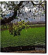Panoramic Of Winter Lettuce Canvas Print by Robert Bales