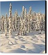 Panoramic View Of Snow-covered Spruce Canvas Print