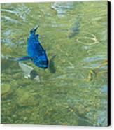 Parrotfish On A Swim Canvas Print by John M Bailey