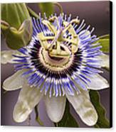 Passiflora Caerulea Canvas Print