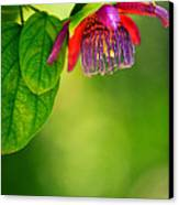 Passion Flower Canvas Print by Julio Solar