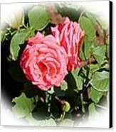 Peach Rose Canvas Print by Victoria Sheldon