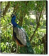 Peacock Beauty Canvas Print by Ella Char