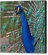 Peacock Display Canvas Print
