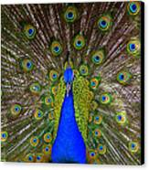 Peacock Extraordinaire  Canvas Print by DerekTXFactor Creative