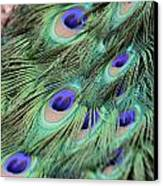 Peacock Feathers Canvas Print by T C Brown