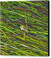 Peeking Crab Canvas Print by Sarah Crites