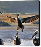 Pelican Coming In For Landing Canvas Print by Dan Friend