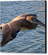 Pelican In Flight Canvas Print by Robert Bascelli