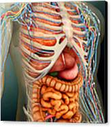 Perspective View Of Human Body, Whole Canvas Print