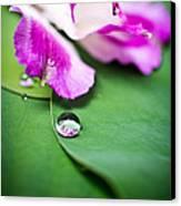 Peruvian Lily Raindrop Canvas Print