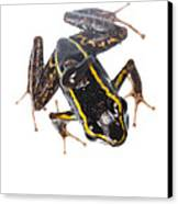 Phyllobates Lugubris With A Tadpole Canvas Print by JP Lawrence