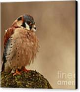 Picture Perfect American Kestrel  Canvas Print by Inspired Nature Photography Fine Art Photography
