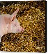 Pig Standing In Hay Canvas Print by Amy Cicconi