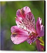 Pink Alstroemeria Flower Canvas Print