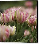 Pink And White Tulip Canvas Print by Lesley Rigg