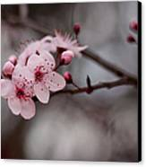 Pink Blossoms Canvas Print by Michelle Wrighton