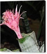 Pink Bromeliad Bloom Canvas Print by Kaye Menner