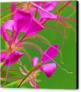 Pink Cleome Or Spider Flower  Canvas Print by RM Vera